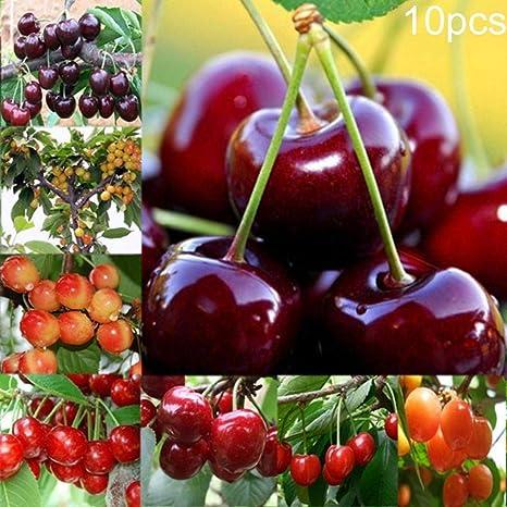 Semillas Plantas 10Pcs / Semillas Paquete Cerezo Prunus Avium Deliciosa Fruta DIY Planta Jardín Decoración - Semillas del Cerezo: Amazon.es: Deportes y aire libre