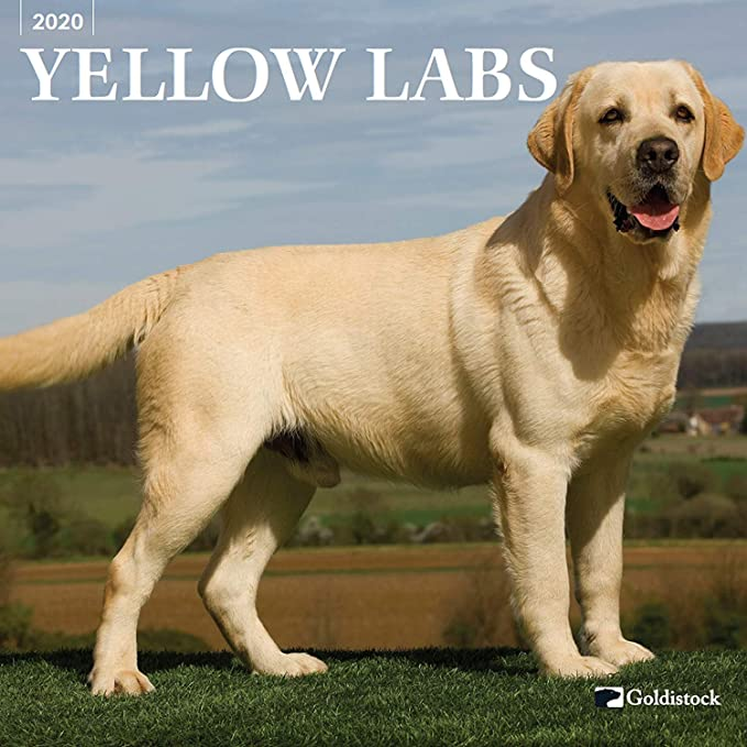 Amazon Com Goldistock 2020 Large Wall Calendar Yellow Labrador Retriever 12 X 24 Open Thick Sturdy Paper Lab Dog Loyal Devoted And A True Friend Office Products