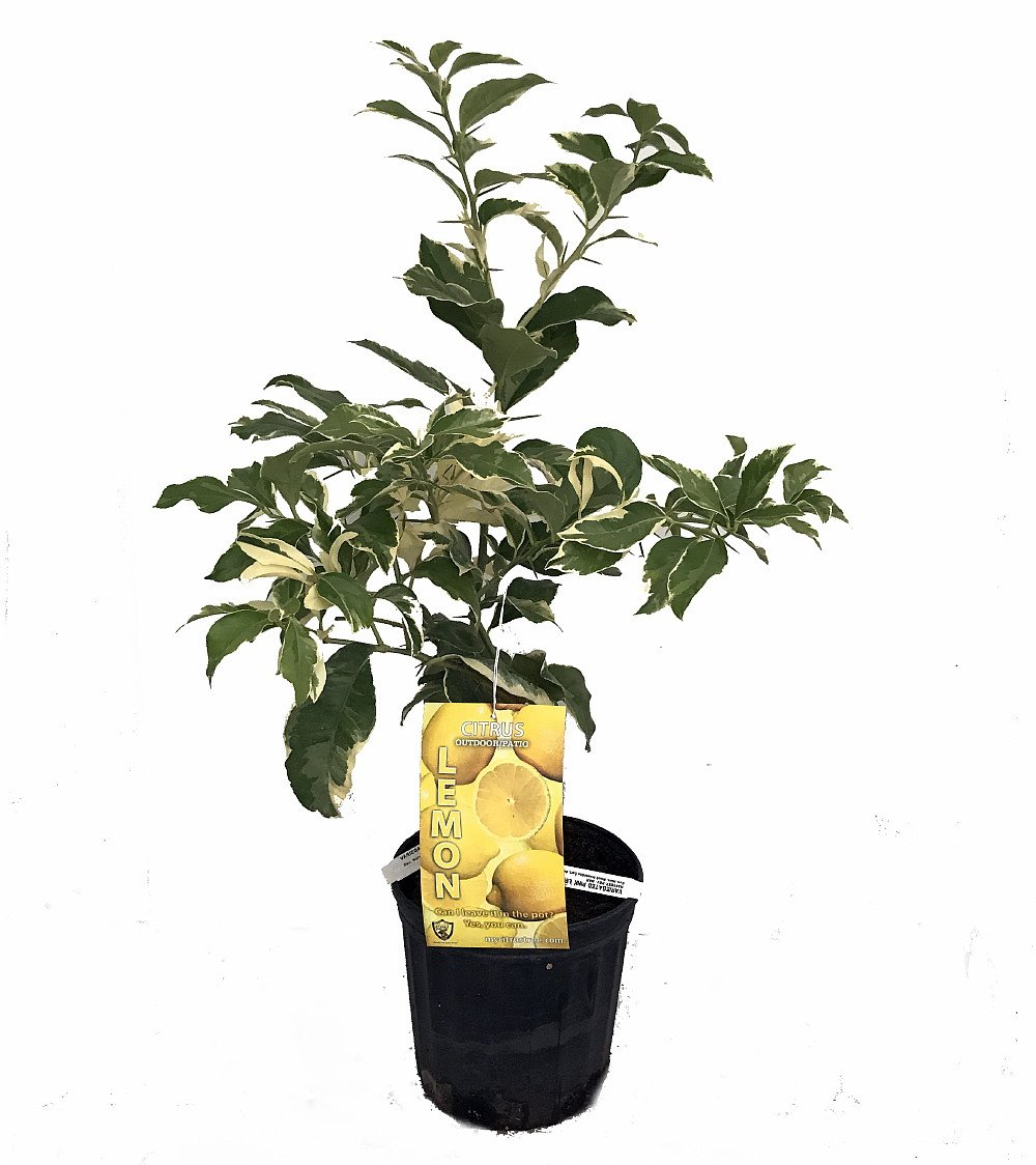 Pink Variegated Eureka Lemon Tree - 6'' Pot - NO Ship TX,FL,AZ,CA,LA,HI