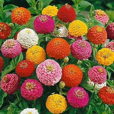 Lilliput Zinnia Mix Flower Seeds, 500+ Premium Seeds, Fantastic Addition to Your Home Flower Garden!, (Isla's Garden Seeds) 70-80% Germination, Highest Quality Seeds : Garden & Outdoor