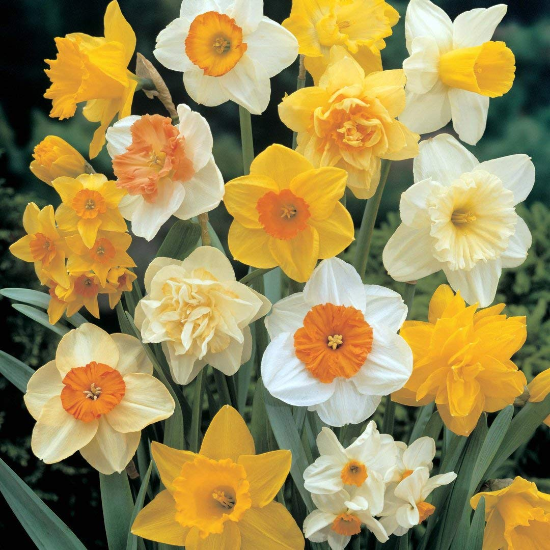 100 x Mixed Rockery Narcissi Bulbs - Pack includes ' Tete a Tete ' - FREE UK P & P