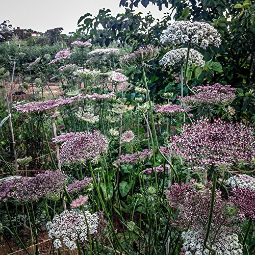 All Good Things Organic Seeds Dara Queen Anne's Lace Flower Seeds (~400): Certified Organic, Non-GMO, Heirloom, Open Pollinated Seeds from the United States - Queen Anne Four