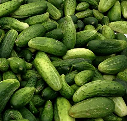 25 Fresh Heirloom Boston Pickling Cucumber Seeds