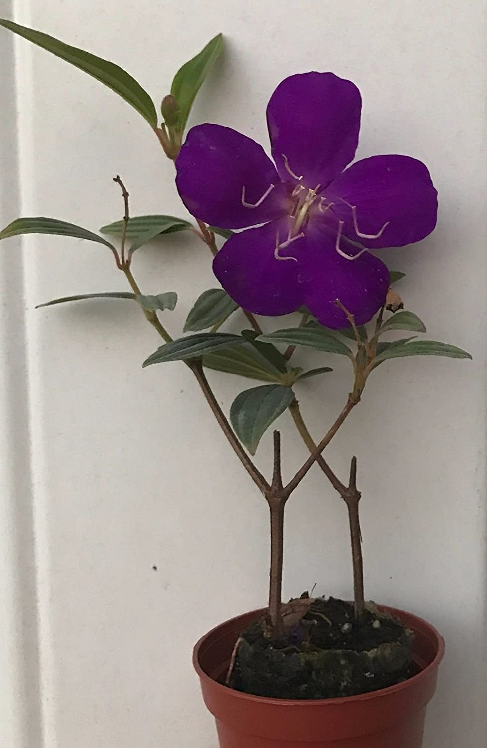 Tibouchina urvilleana ~ Princess Flower, Purple Glory Bush ~ Live Starter Plant good