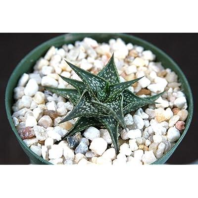 """Toyensnow - Aloe descoingsii Exotic Madagascar Rare Succulent Cacti Bonsai Caudex Plant (4"""" Pot) : Garden & Outdoor"""