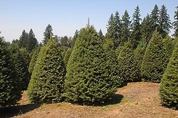 Amazon.com : Douglas Fir Tree Christmas Tree - 200 Seeds : Patio ...