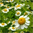 Package of 500 Seeds, German Chamomile (Matricaria recutita) Non-GMO Seeds By Seed Needs