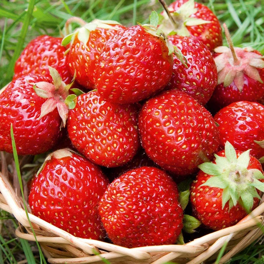 Strawberry Sweetheart Bare Root Fast Growing Garden Bush Fruit Plants 15 Plants