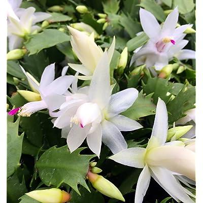 "White Christmas Cactus Plant - Zygocactus - 4"" Pot: Grocery & Gourmet Food"