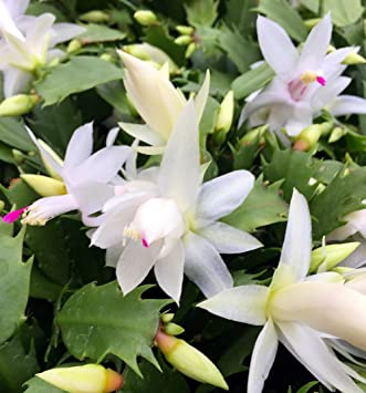 How To Prune A Christmas Cactus.Hirt S White Christmas Cactus Plant Zygocactus 6 Pot