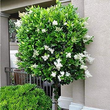Top Future Exotics Ligustrum japonicum Texanum Echter Japanischer #SW_58