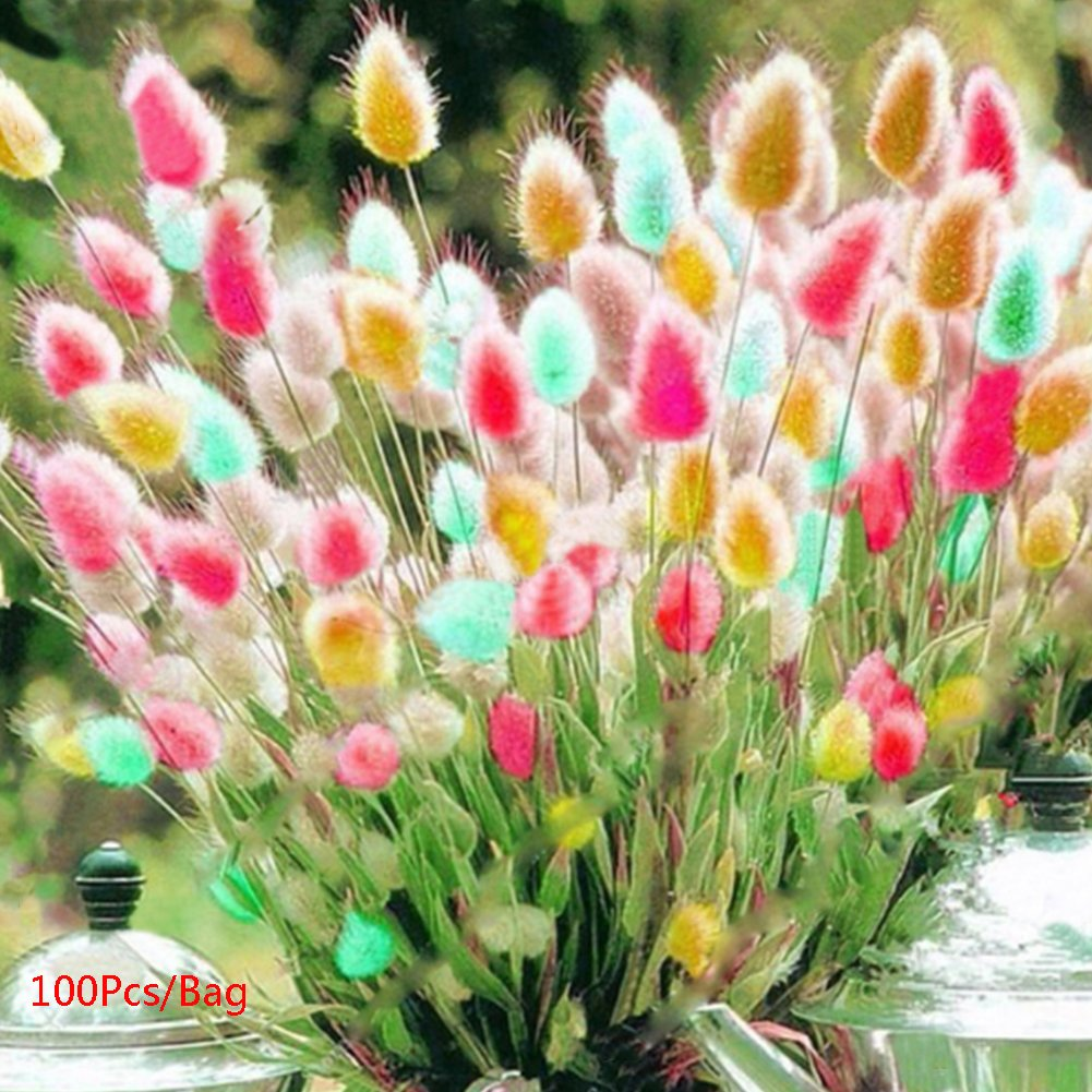 Glamaours 100Pcs Rabbit Tails Grass Seeds, Rainbow Grass Bonsai Plant Seeds Garden Courtyard Ornamental Decor, Mixed Color Generic