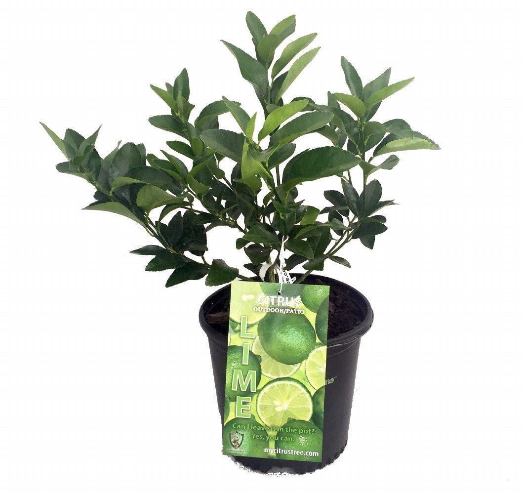 Persian Lime Tree - Fruit Bearing Size -6'' Pot-NO Ship to TX, FL, AZ, CA, LA, HI by Hirt's Gardens