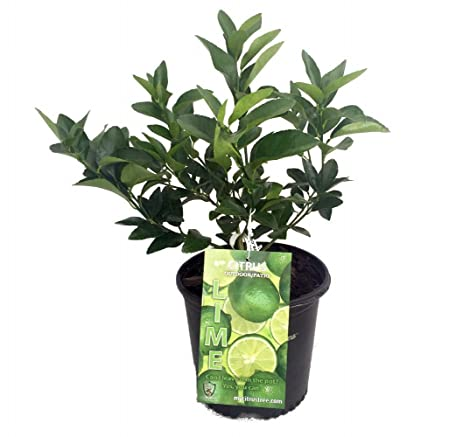 Perfect Persian Lime Tree   Fruit Bearing Size/Branched   8u0026quot; Pot   Indoors/