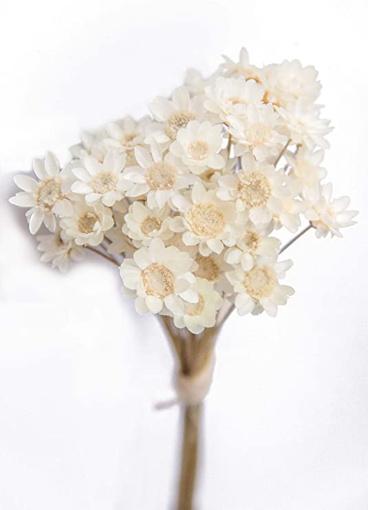 Amazon Com 100 Stems Natural Dry Flowers Brazilian Small Star Daisy Decorative Dried Flowers Mini Daisy Chamomile Bouquet For Wedding Floral Arrangements Home Decorations White Home Kitchen