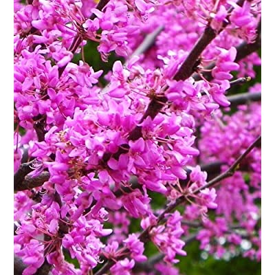 AchmadAnam - Live Plant - 5 - American Redbud Ornamental Flowering Tree 3-4 ft : Garden & Outdoor