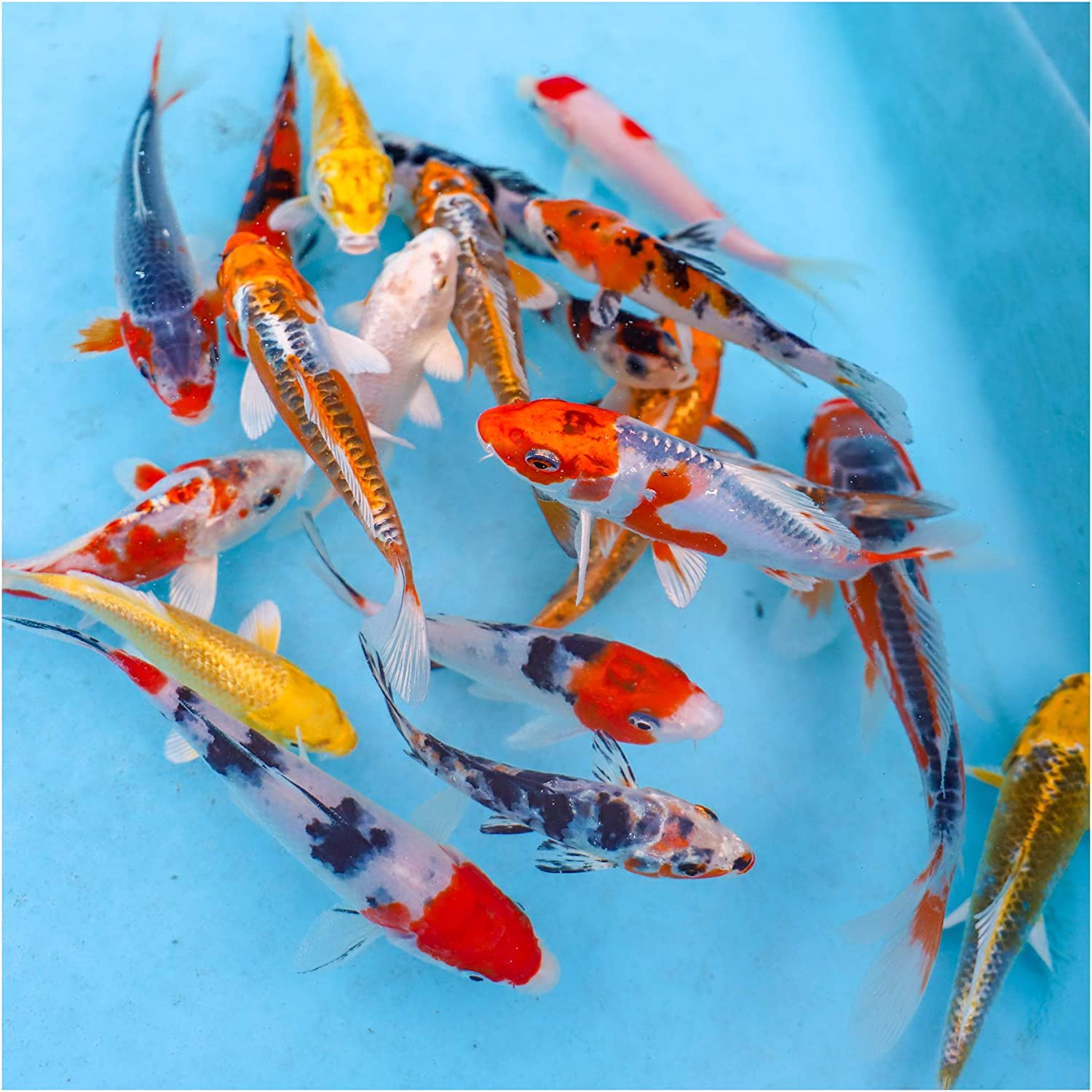 Natural Waterscapes Colorful Pond Live Koi Mix | Pond Fish Pack (10) 3-5