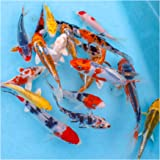"Natural Waterscapes Colorful Pond Live Koi Mix | Pond Fish Pack (10) 3-5"" Koi Fish 