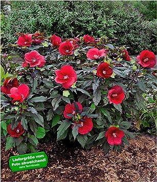 Baldur Garten Winterharter Hibiskus Summerific Midnight Marvel 1