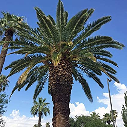 Phoenix canariensis HARDY CANARY ISLANDS DATE PALM Seeds!Outdoor plants tree 10 Seeds