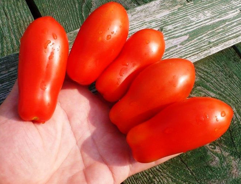 トマト種子Damskiye Palchiki - レディース指ロシア家宝NON-GMO B01HFK0L8S