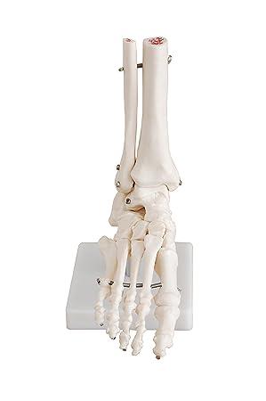 Human Foot Ankle Model Life Size Anatomical Skeletal Model Of