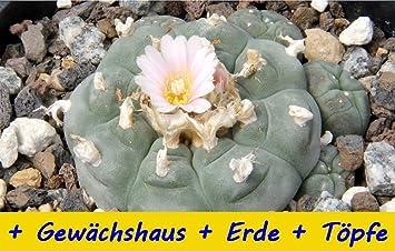 Saflax Anzucht Set Kakteen Peyotl Kaktus Lophophora