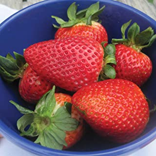 Burpee 'Flavorfest' June-Bearing Strawberry shipped as 25 BARE ROOT PLANTS