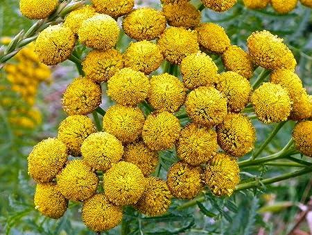 Achillea Filipendulina Fern Leaf Yarrow World Of Flowering Plants Yarrow Plant Plants Yarrow
