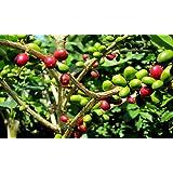 PIANTA DEL CAFFE' NR.7 SEMI