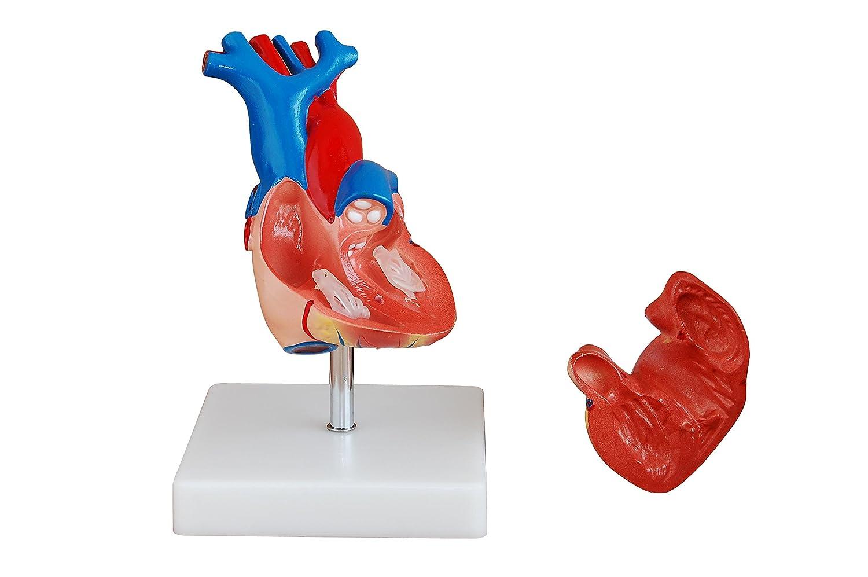 Herz Modell – lebensgroß menschlichen Anatomie Modell: Amazon.de ...