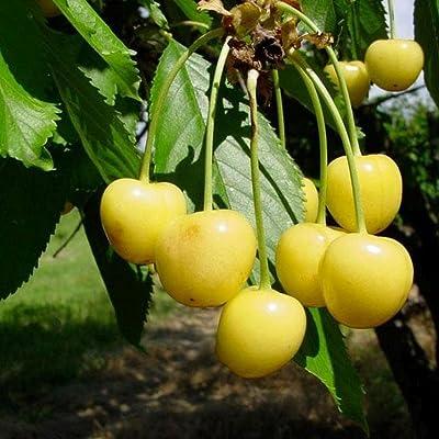 Stark Gold Sweet cherry yellow fruit bird resistant fruit tree 10 seeds : Garden & Outdoor