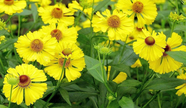 Summer Flowers-Sneezeweed