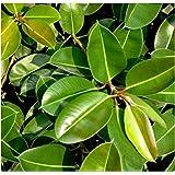5x Riesen Gummibaum Kautschukbaum Samen Zimmer Pflanze Baum #122