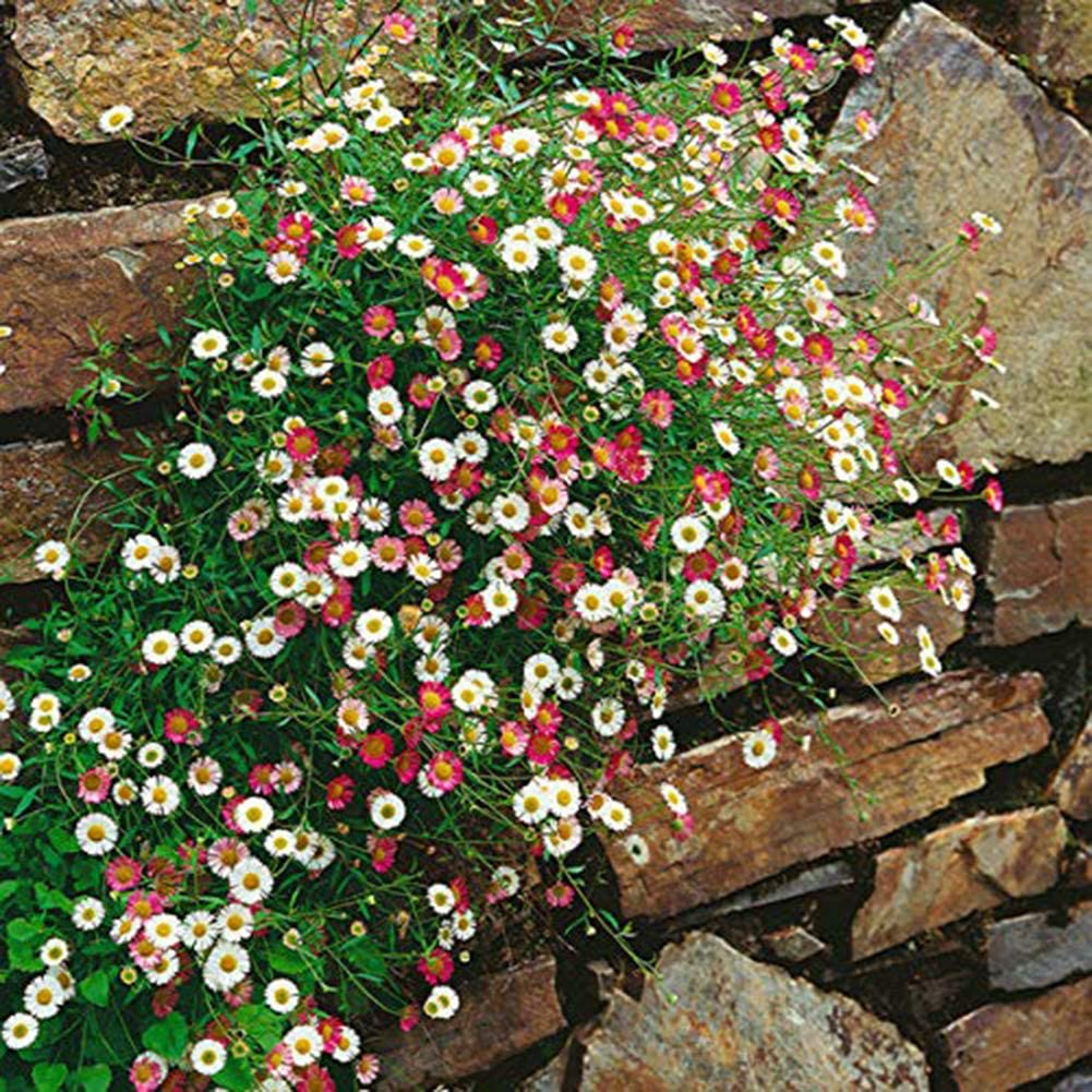 10pcs Daisy Seeds for Garden Planting Beautiful Flower re2chiOngs 10//50//100Pcs Daisy Seeds Mixed Color Garden Yard Flower Balcony Floral Decor