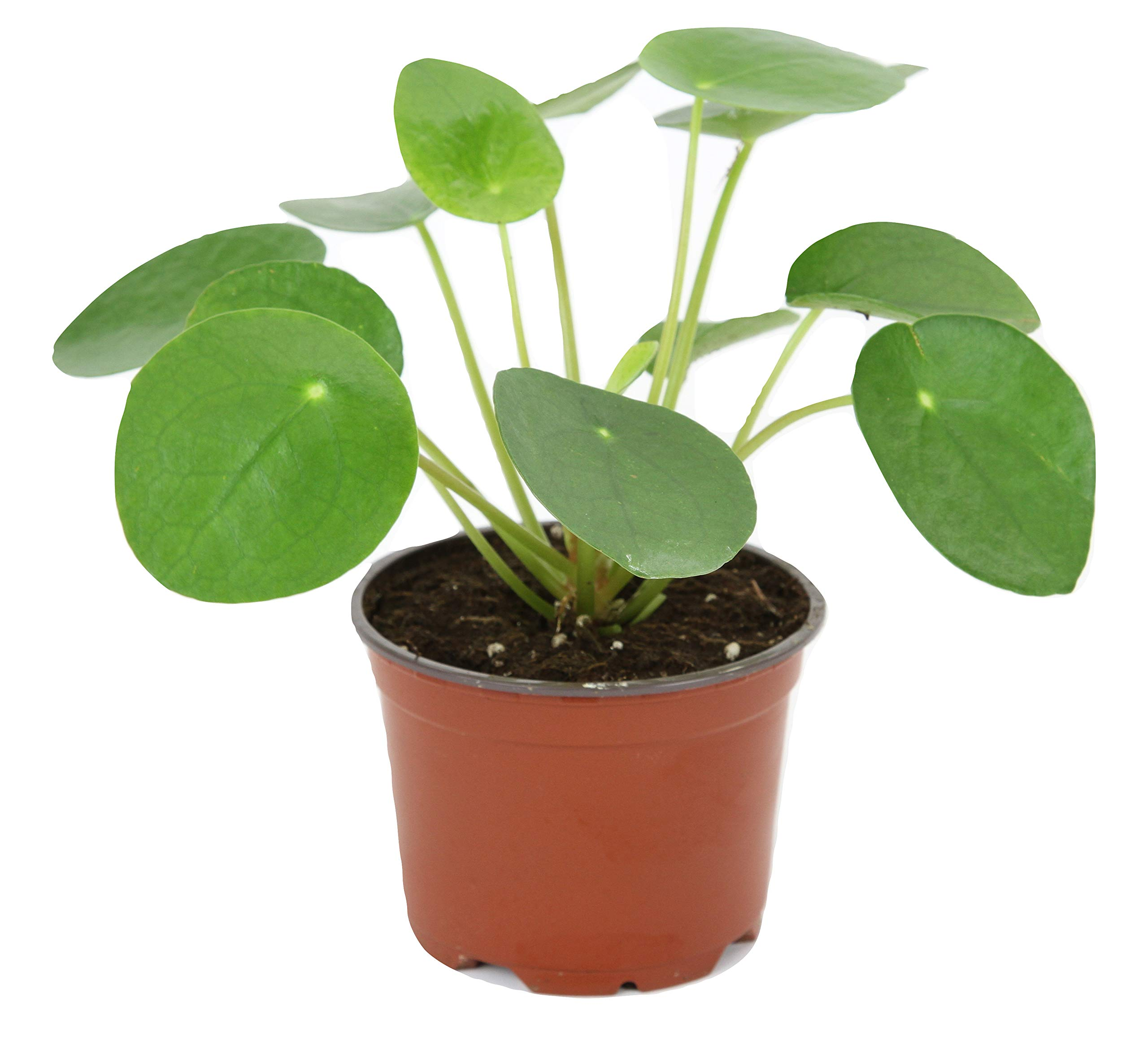 Pilea peperomioides (4'' Pot) (Chinese Money Plant/Pancake Plant/UFO Plant) by Optiflora