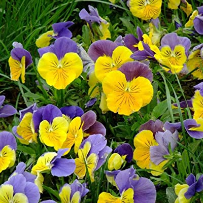 Earth Seeds Co 100 Pcs Pansy Mixed Seeds, Pansies in Cheerful Colours, Flower Plants Seeds Perfect Plant for All Your containers and Bedding displays : Garden & Outdoor