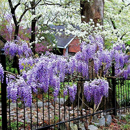 BLUE MOON WISTERIA VINE - FRAGRANT FOOT LONG FLOWERS - ATTRACTS HUMMINGBIRDS - 2 - YEAR PLANT by Japanese Maples and Evergreens (Image #7)