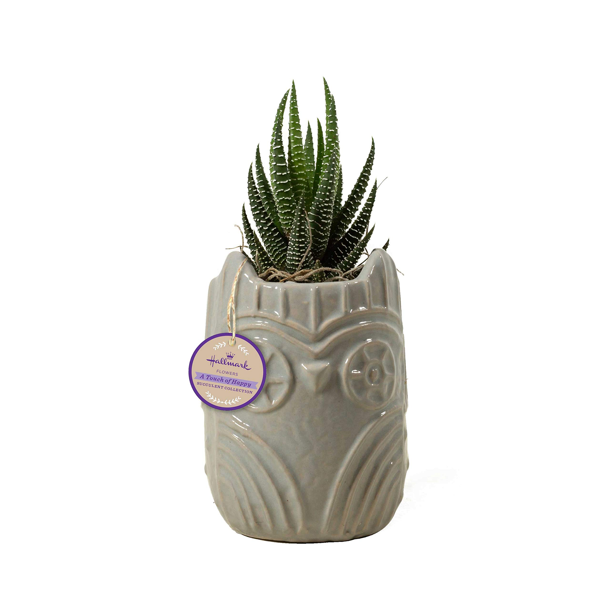 Live Succulent in 3'' Grey Owl Ceramic Container, From Hallmark Flowers