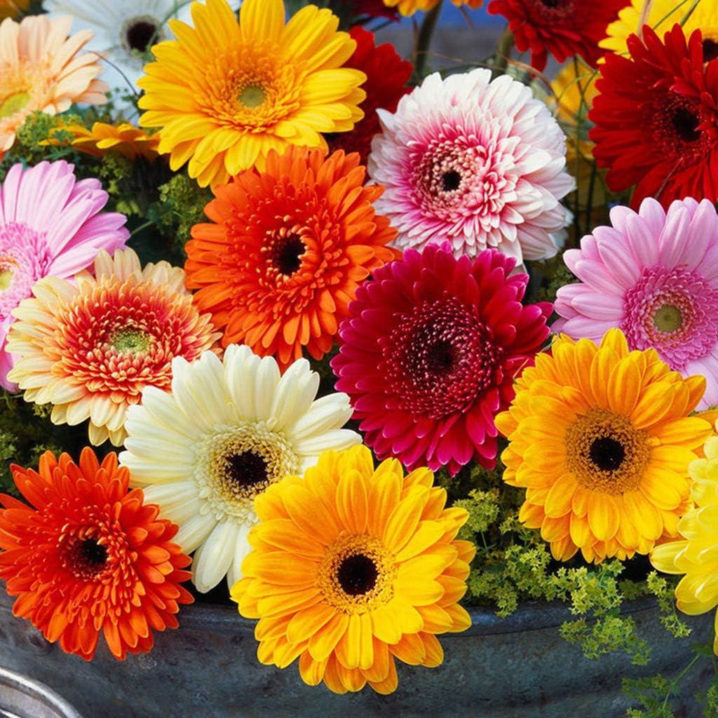 PHILSP 200 Piezas de Semillas de Margaritas de Gerbera mezclada fragante Planta perenne Flor Bonsai decoraci/ón