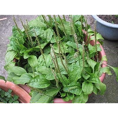 Plantago Asiatica Chinese Plantain Arnoglossa Garden 5000 Herb Seeds : Garden & Outdoor