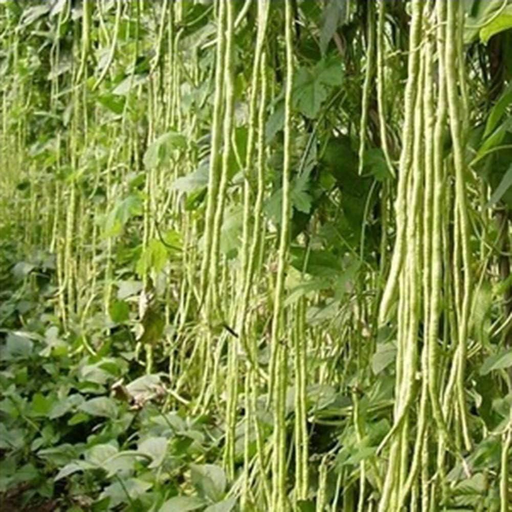 good01 30pcs Graines De L/égumes /à Haricots Longs Graines De L/égumes Nutritives pour Le Jardin De La Ferme Graines de Haricots Longs