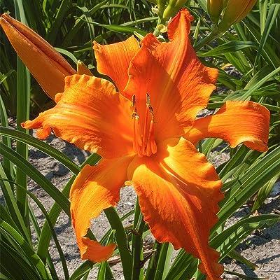 Van Zyverden 83496 Daylilies Primal Scream Set of 3 Roots, 1, Gold/Orange : Garden & Outdoor