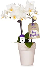 Hallmark Flowers Petite White Orchid in 2.5-Inch White Ceramic Container