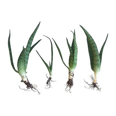 "RAGARDEN Zebra Aloe Saponaria (Non-Biter Aloe). Plants (4 Plants in Package, Size 4""-6"" Height, Bare- Rooted). Grown in Nevada, USA. : Garden & Outdoor"