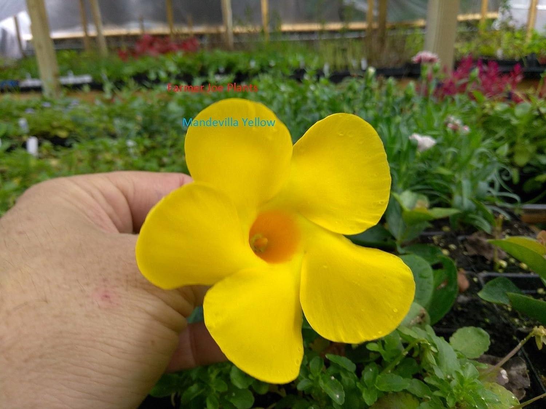 Amazon Mandevilla Vine Yellow 1 Plant Quart Pot Vine