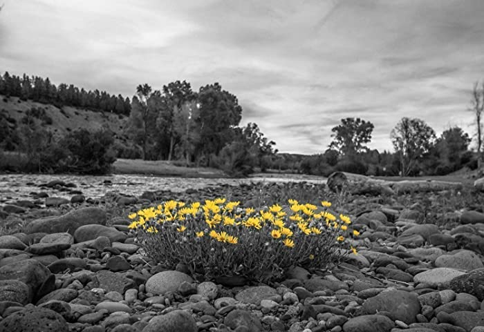 Amazon nature photography wall art print picture of yellow nature photography wall art print picture of yellow flowers against black and white river landscape mightylinksfo