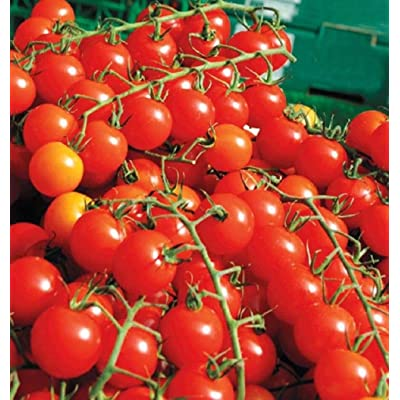 Sweet Million F1 Hybrid Tomato Seeds - Plant produces over 500 cherry tomatoes! (10 - Seeds) : Garden & Outdoor