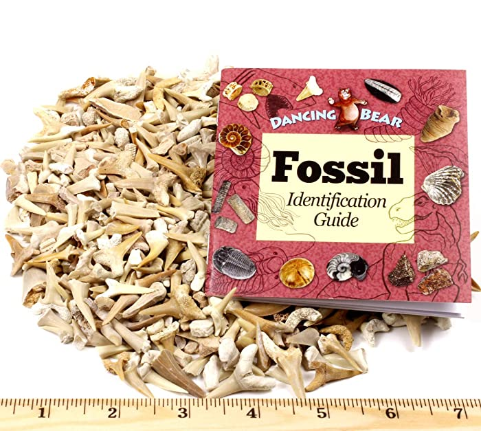 Dancing Bear Shark Teeth Fossils Bulk Wholesale (1 Pound) Genuine from Morocco, 50-60 Million Years Old (Paleocene Period), Real Authentic Shark Tooth Collection, Free Bonus: Fossil Book & ID Card