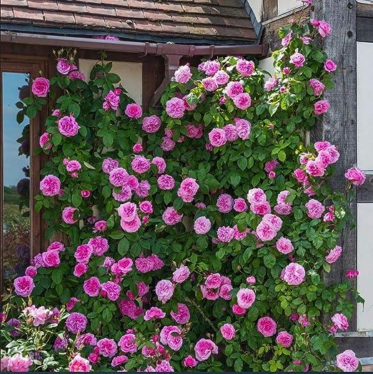 Pink Rosa Eden Seeds 100 Wild Rose Easy Grow Organic Clambing Vine Flower Fresh Plants Seeds For Planting Garden Outdoor Indoor Amazon Co Uk Garden Outdoors